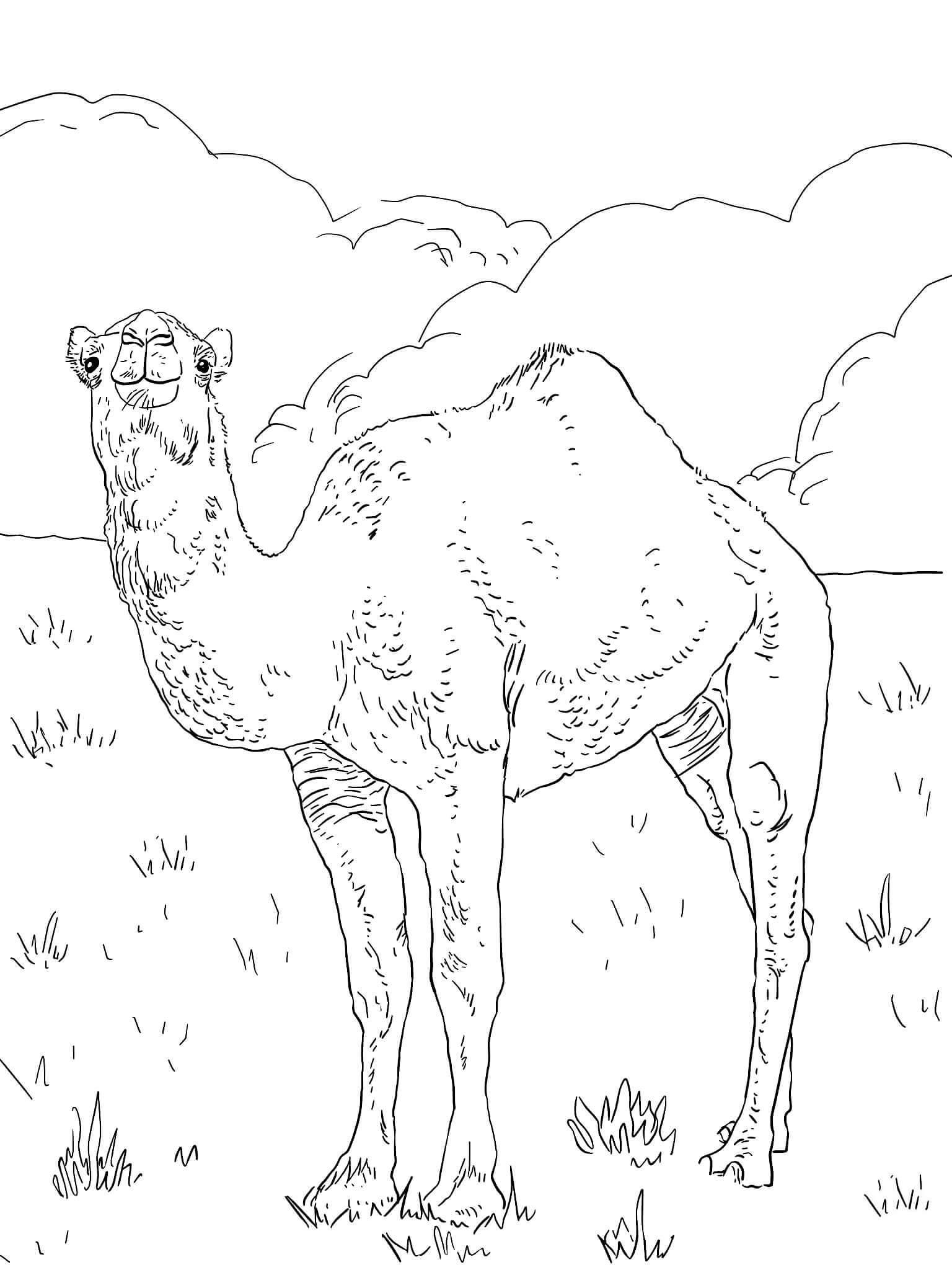 Раскраска Арабский верблюд