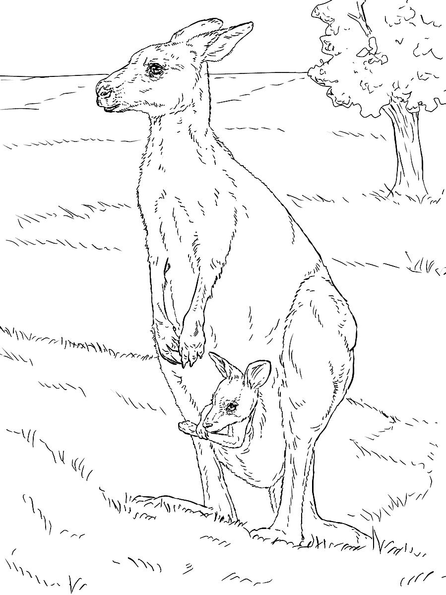 Раскраска Кенгуру с детёнышем