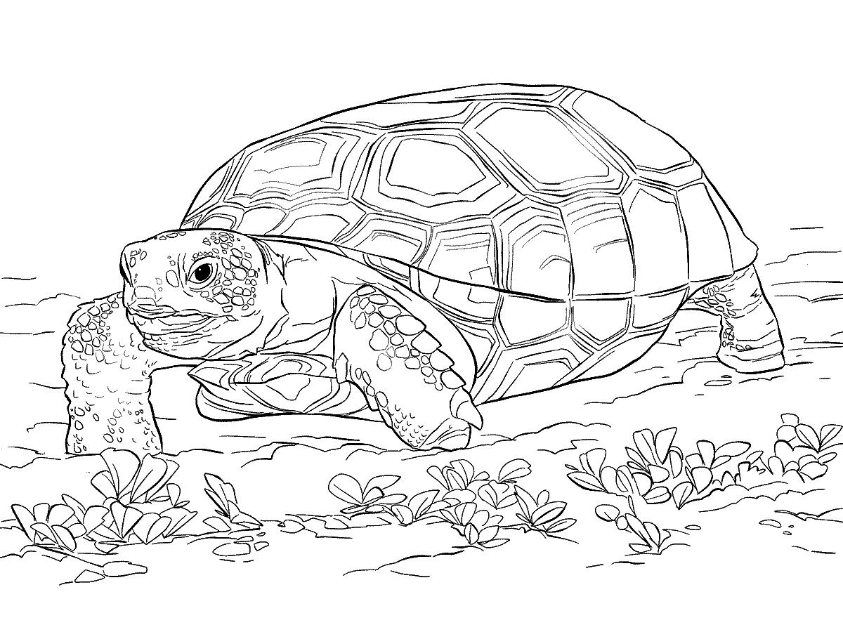 Раскраска Ползающая черепаха